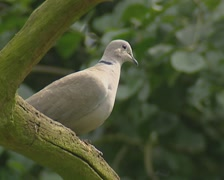 Streptopelia Decaocto, Eurasian Collared Dove, perched on a branch - low angle. Stock Footage