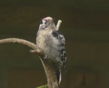 Juvenile Goldfinch perched, moulting. Stock Footage