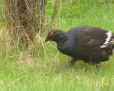 Black grouse, Tetrao tetrix foraging in grass - tracking shot Stock Footage
