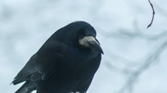 Black Crow Looks Around 3 - stock footage