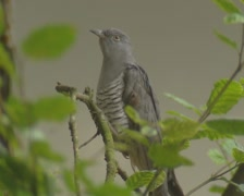 Common Cuckoo, Cuculus canorus, perched - on camera Stock Footage
