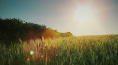 Green wheat field at sunset Stock Footage