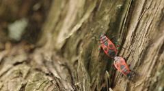 Firebugs Mating 1 - stock footage