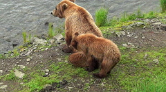 Brown Bear Sow & Cub are Bothered by Swarms of Mosquitoes Stock Footage