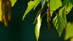 Birch catkin bloom and leaves - stock footage