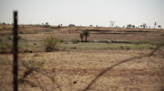 Grazing cows livestock in drought dry eroded land, long shot, shallow DOF Stock Footage