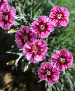 Bold pink carnations Stock Photos