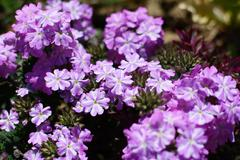 Mauve and white striped verbena flowers Stock Photos