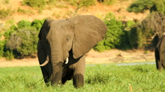 Chobe National Park Botswana boat motion elephant - stock footage
