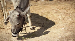 Tied up cow eating grass and hay, close up, shallow DOF Stock Footage