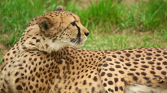 Young cheetah lying in the grass Stock Footage