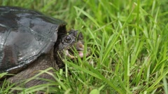 Closeup of Snapping Turtle with Open Mouth Stock Footage