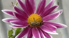 A bee pollinates a beautiful flower Stock Footage