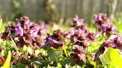 4K Deadnettle Lamium in Spring 1 closeup Stock Footage