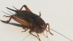 Stock Video Footage of crickets on a white background
