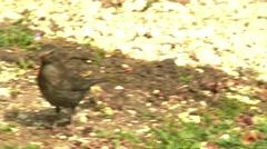 4K Eurasian Blackbird Female Turdus Merula Searching Food in the Grass at Spr Stock Footage