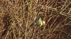 4K Eurasian Tree Sparrow Passer Montanus Eating from Birdfeeder in the Winter Stock Footage