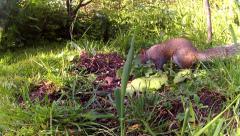 Grey Squirrel  foraging 01 Stock Footage