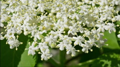 Elderflower blooming in the wind close up Stock Footage