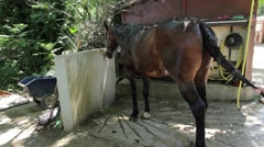 Horse showered after a long ride - wide angle Stock Footage