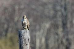 Red-tailed Hawk bird perches atop old telephone pole Stock Photos