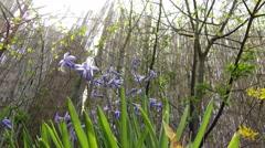 4K Hyacinth Hyacinthus Orientalis in Spring 3 zoom in Stock Footage