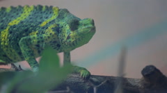 Green chameleon moves slowly on branch Stock Footage