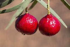 Close-up of quandong hanging on plant outdoors Stock Photos