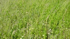 Green meadow with grass, daisies and plantain blown by wind Stock Footage