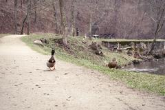 Ducks on the road near river Stock Photos