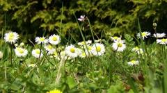 4K Oxeye Daisy Leucanthemum Vulgare in Spring 3 closeup Stock Footage