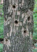 Woodpecker holes - Ash Tree Stock Photos