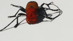 Red beetle on a white background Stock Footage