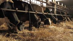 Cows eating in the stable,close up shot. Stock Footage