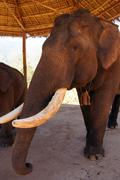 Old male elephant with large tusks Stock Photos
