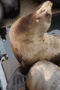 Solitary California sea lion resting Stock Photos