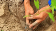 Planting ginseng tree in garden Stock Footage