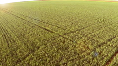 Wheat field in spring. Aerial footage. Stock Footage