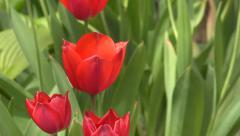 4K Single red tulip flower. UHD stock video - stock footage