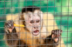 Capuchin in the cage - stock photo