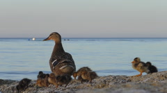 Duck and very little ducklings on a seashore Stock Footage