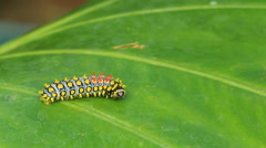 Yellow Caterpillar moving on leaf close up macro Stock Footage