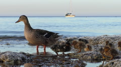 Duck family and sailing ship in the sea Stock Footage