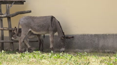 Donkey Female Eating Grass on Farm - stock footage