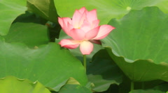 lotus pond - stock footage