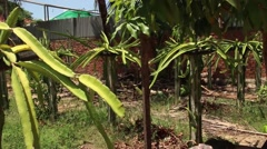 Stock Video Footage of EXOTIC ASIAN DRAGON FRUIT - Walkthrough wide shot dragon fruit farm in Asia