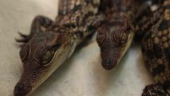 Baby Crocodiles - Various ECUs of baby croc heads - stock footage