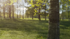 Fresh green birch leaves sways on wind springtime Stock Footage
