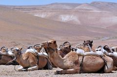 Convoy of Camels rest during a desert voyage Stock Photos