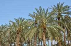 Date Palm Plantation - Dead Sea, Israel Kuvituskuvat